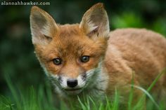 Red Fox Cub by Alannah Hawker