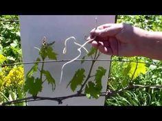 Виноградник Обломка побегов - YouTube