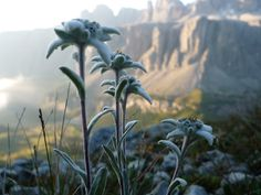 Le stelle alpine, Alta Badia Dolomiti