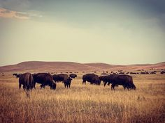 Custer State Park. #custerstatepark #southdakota #dakota #sd #travel #travelphotography #bison