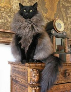 This is an Oh My God cat. .. The Ultimate Cat !