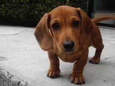 Cómo educar a un Dachshund o Perro salchicha