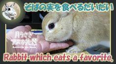 そばの実を食べる【 だいだい 】 The rabbit which eats a favorite 2015年11月13日