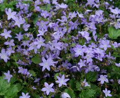 Campanula poscharskyana 'Blue Rivulet' perennial middle bed 2017