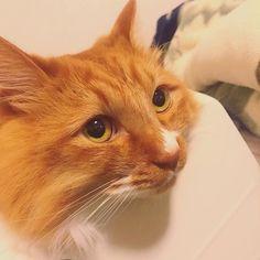 . うちが帰ってくるの待ってたらしい🐱 ニャーニャー近寄ってくる、可愛すぎだろ! 今日は美香パンフレットありがと🎅🏻 餃子も美味しかった🙊♩ 楽しみあると色々がんばれる〜 #猫 #にゃんこ #くうちゃん #愛猫 #ペット #可愛い #友達 #彼氏 #餃子パーティー  #楽しい #cat #animal #pet #catlover #bro #fam #friends #boyfriend #party #enjoy #happy #smile #thankyou #instagood #instalike #instacat #instaphoto #catstagram