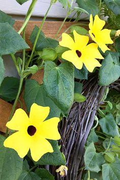 Black-eyed susan vine on a trellis Amazing Gardens, Garden Shop, Flower Pots, Pergola Pictures, Vines, Gardening Blog, Black Eyed Susan Vine, Flowers, Garden Vines