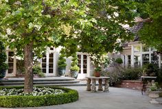 Calling it Home: Which Boxwood Where?  How about around the Shady Lady Olive tree?