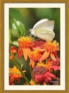 White Butterfly On Mexican Flame Framed Print by Debra Martz. All framed prints are professionally printed, framed, assembled, and shipped within 3 - 4 business days and delivered ready-to-hang on your wall. Choose from multiple print sizes and hundreds of frame and mat options. Fantastic Art, Wonderful Images, Acrylic Nail Designs, Acrylic Nails, White Butterfly, Framed Prints, Art Prints, Great Artists, Fine Art America