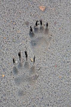 Tejón, badger (Meles meles). Size: Front foot 7cm x 4cm. Hind foot: 6,5cm x 3,5cm