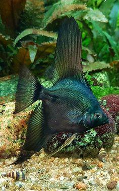 e5b8037712 Aquascaping, Pez Angel, Angel Fish, Marine Life, Vie Marine, Tropical Fish  Aquarium, Betta Fish, Fish Tank Design, Salt Water Fish