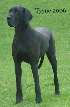 Innostu - Onnistut: Tanskandoggi - koira - elämänkumppani 4 Labrador Retriever, Dogs, Animals, Labrador Retrievers, Animales, Animaux, Pet Dogs, Doggies, Labrador