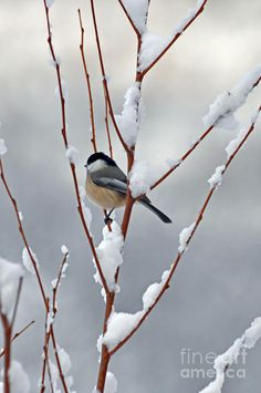 Winter Chickadee// Our faithful winter friends SB
