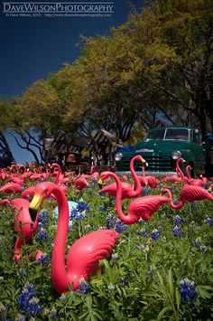 FLAMINGO~field of flamingos & blue bonnets Flamingo Art, Pink Flamingos, Plastic Flamingos, Flamingo Outfit, Flamingo Gifts, Pretty Birds, Beautiful Birds, Pink Love, Pretty In Pink