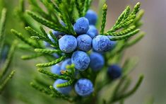 Juniper berry is not actually a berry in the sense that berries are a form of fruit. However, the juniper berry is actually the seed cone of the juniper plan. Juniper Berry Essential Oil, Essential Oils, Castor Oil Packs, Juniperus Communis, Oregano Oil, Medicinal Herbs, Earthy, Herbalism, Gardens