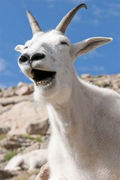 This cheerful mountain goat laughs for a photographer at Mt. Evans in Colorado after he and his pals interrupted a photo shoot of the picturesque sunrise.