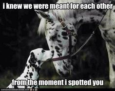 We went to the Appaloosa Horse Museum in Moscow, Idaho. Our first horse, Gypsy was an Appaloosa. Caballos Appaloosa, Appaloosa Horses, Leopard Appaloosa, Vida Animal, Mundo Animal, Dog Pictures, Animal Pictures, Cute Pictures, Beautiful Horses