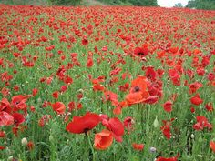 Poppies in Tennessee