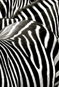 thestylishgypsy:  Zebra Stripes by Steven Welti Photography