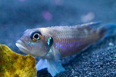 tanganyika cichlids | Go Back > Gallery For > Lake Tanganyika Cichlids Species