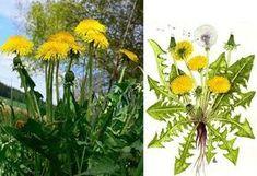 Pampeliška, smetanka lékařská - účinky na zdraví, co léčí, použití, užívání, využití - Bylinky pro všechny Ayurveda, Flora, Health Fitness, Herbs, Jar, Gardening, Plants, Masky, Syrup