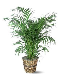 Areca Palm - does well in indirect light. Keep the soil somewhat dry, only watering on alternate weeks or so.