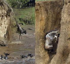 牛羚斑马大迁徙 跳崖过河惊心动魄一群牛羚(又称角马)为了寻找食物,从高处的悬崖峭壁跳入鳄鱼滋生的水域中,这种为了寻找食物的季节性动物大迁徙,总是让动物们的生命处于时常的危险中。法国摄影师二人组劳伦-雷诺和多米尼克-欧蒂翁拍下了这些惊心动魄的瞬间。  在肯尼亚马赛马拉国家保护区,一群牛羚正在迁徙之中,它们来到陡峭的崖壁边,一个�