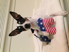 Toy fox terrier Mickey! Happy Fourth of July