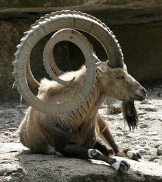 Very long horns....some type of goat or sheep.....looks more like a goat with the goatee....silly joke.