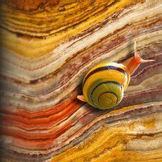 White-lipped Snail // Natural Ónix