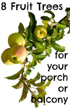 8 Fruit Trees to Grow in containers - Apples, pears, cherries, plums, peaches, apricots, figs, Calamondin orange