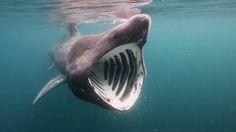 Basking shark - Google Search