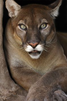 Mountain Lion Beauty Expression