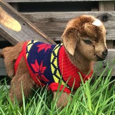Briar Rose Miniature Goats on facebook - profile photo - of a kid (baby goat) in a sweater. #cuteness #overload