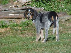 The Bluetick Coonhound is the state dog of Tennessee, where it is said to have originated. Selective breeding in Louisiana of Foxhounds, Curs, French Hounds and English Coonhounds produced the Bluetick Coonhound.