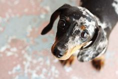 Dolly, the adorable doxie omg she kills me!