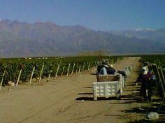 Harvesting malbec for Serie A in Altamira - Zuccardi Wines