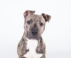 Sanjai - URGENT - Dekalb County Animal Shelter in Decatur, Georgia - ADOPT OR FOSTER - 2 year old Male American Pit Bull Mix