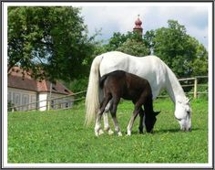 piber, A LIPPIZANER MARE WITH FOAL ( THEY GET WHITE LATER)