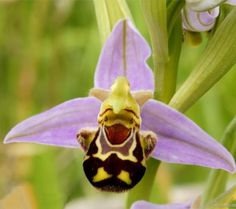 Annons på Tradera: 100 st Frön Orkide Orkidéer Bi Humla