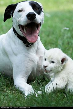 Dog Adopts White Baby Lion Cub • from APlaceToLoveDogs.com • dog dogs puppy puppies cute doggy doggies adorable funny fun silly photography