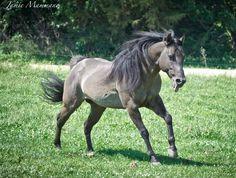 BERRY SWEET WHIZARD: Smoky grullo grulla reining horse, AQHA stallion