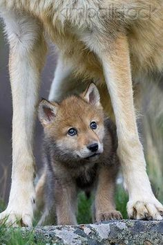 Gray Wolf pup with mom - by Klein-Hubert.