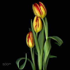 FOR MOTHER´S DAY... Tulips by Magda Indigo on 500px