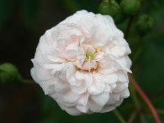 Bodendeckerrose 'Little White Pet' - Rosa 'Little White Pet'