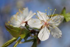 Cherry Tree Blossoms / Closeup Image of Delicate by PhotoClique