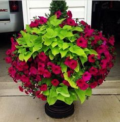 Sweet Potato Vine, with wave petunias and a dwarf Alberta spruce on my driveway last summer, they were beautiful! Sweet Potato Vine, with wave petunias and a dwarf Alberta spruce on my driveway last summer, they were beautiful! Beautiful Flowers, Flower Pots, Garden Vines, Potato Vines, Container Flowers, Flowers, Garden Containers, Wave Petunias, Plants
