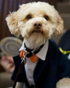 A custom suit looks dapper on this dog