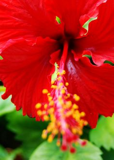 Hibiscus ~ Hawaii State Flower  Oahu