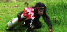 Les chimpanzés, des animaux altruistes