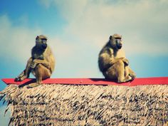 Cheeky baboons on the Lake Chala campsite #wildlife #africa #tanzania #camping #travel #baboons #monkeys
